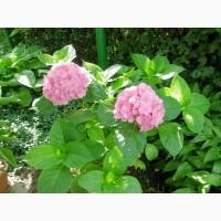 Продам кусты розовой гортензии