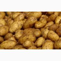 Опт, в наличии сорт картофеля-ривьера, продам