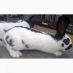 Кролик породы немецкий пестрый великан (строкач)
