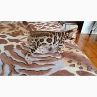 Купить бенгальского котенка Харьков. Купить бенгальскую кошку в Харькове