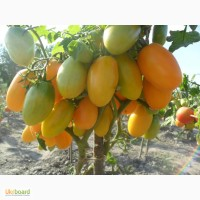 Семена томатов, перца и баклажан.