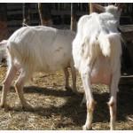 Продам срочно дойных коз