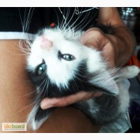 Котенок с редким цветом глаз(бирюзовым)