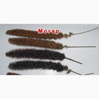 Могар (Setaria italica mocharium Abt.)