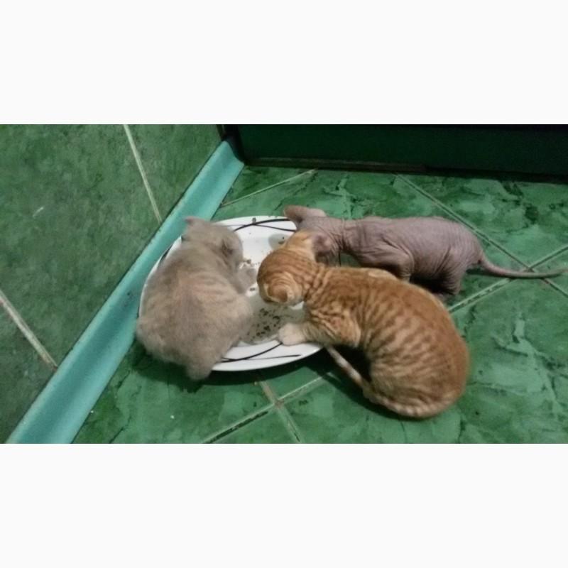Фото 2/7. Котята украинского левкоя (вислоухого сфинкса)