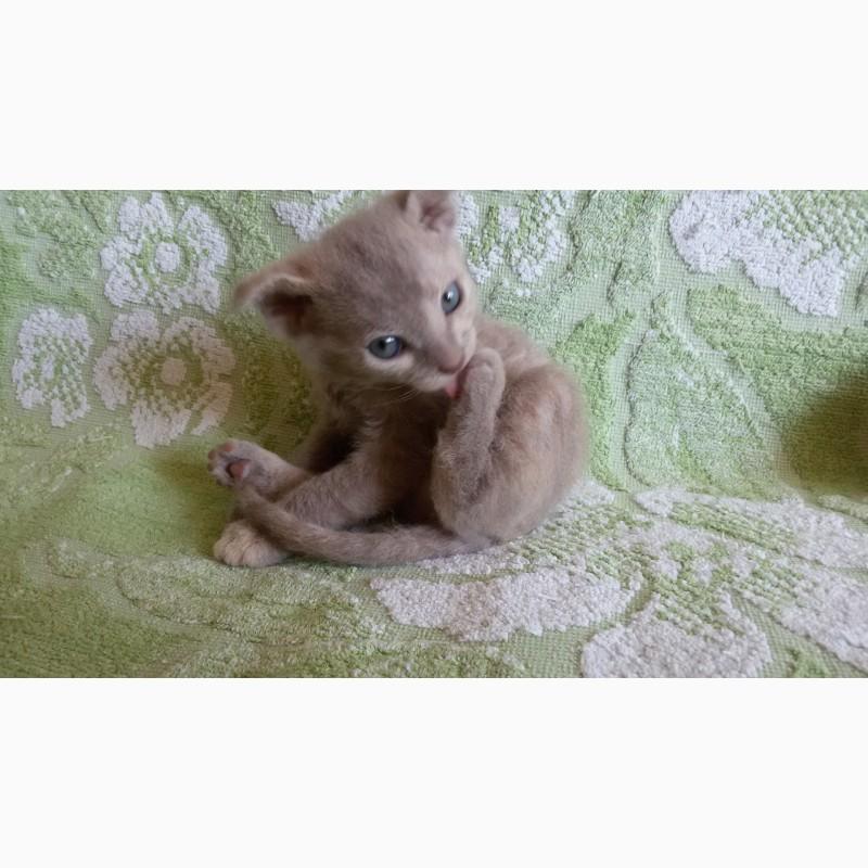 Фото 3/7. Котята украинского левкоя (вислоухого сфинкса)