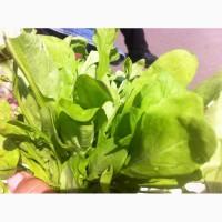 Продам зелень: руколу, салат