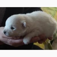 Продается щенок японского шпица