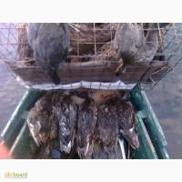 Продаю подсадных уток породы кряква Семеновская