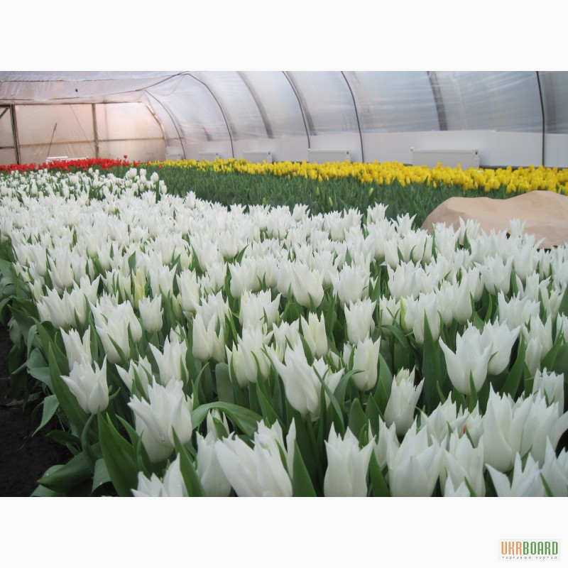 В харькове купить оптом тюльпаны доставка цветов бетлица