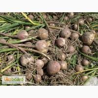 Продам часник на посадку насіння ціна договірна