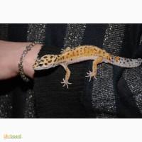 Еублефар або леопардовий плямистий гекон різних кольорів