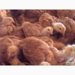 Продам курчата добові РЕД БРО, іспанка голошия, мастер грей