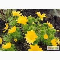Адонис (Горицвет весенний, Adonis vernalis) цвет с травой 50 грамм