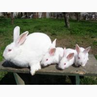 Продам кроликов на развод Белый панон . Лучшая мясная порода