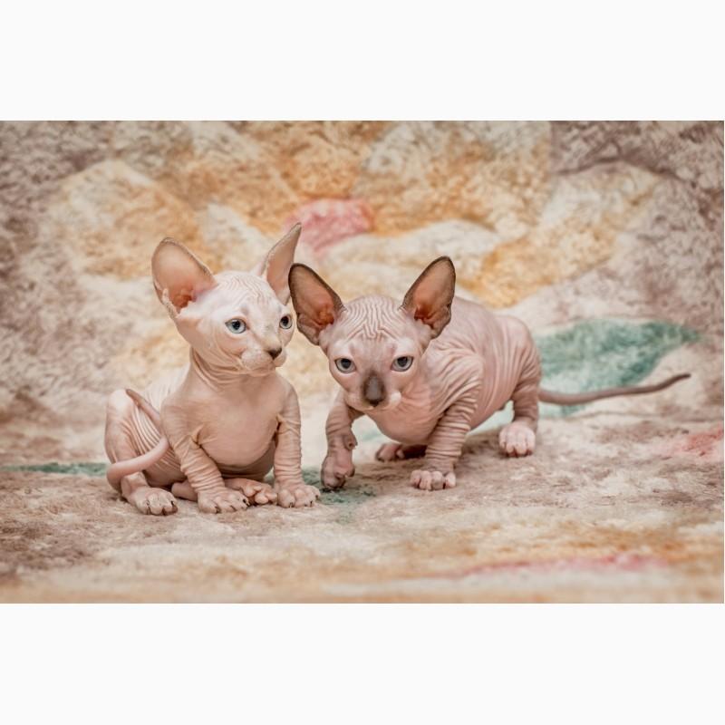 Фото 2/8. Беззащитный, маленький котёнок Эльф, бамбино, Двэльф, сфинкс