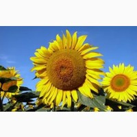 Семена подсолнечника Дарил- устойчивый к заразихе