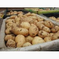 Продам ранний картофель Киранда