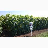 Семена подсолнечника НС Х 2652 Устойчив к Гранстару/Технология SUMO Высокая масличность