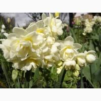 Продам луковицы Нарциссов и много других растений (опт от 1000 грн)