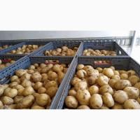 Продам молодой картофель Ривьера