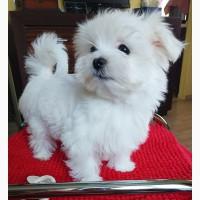 Миниатюрные щенки мальтезе-девочки – 3 месяца