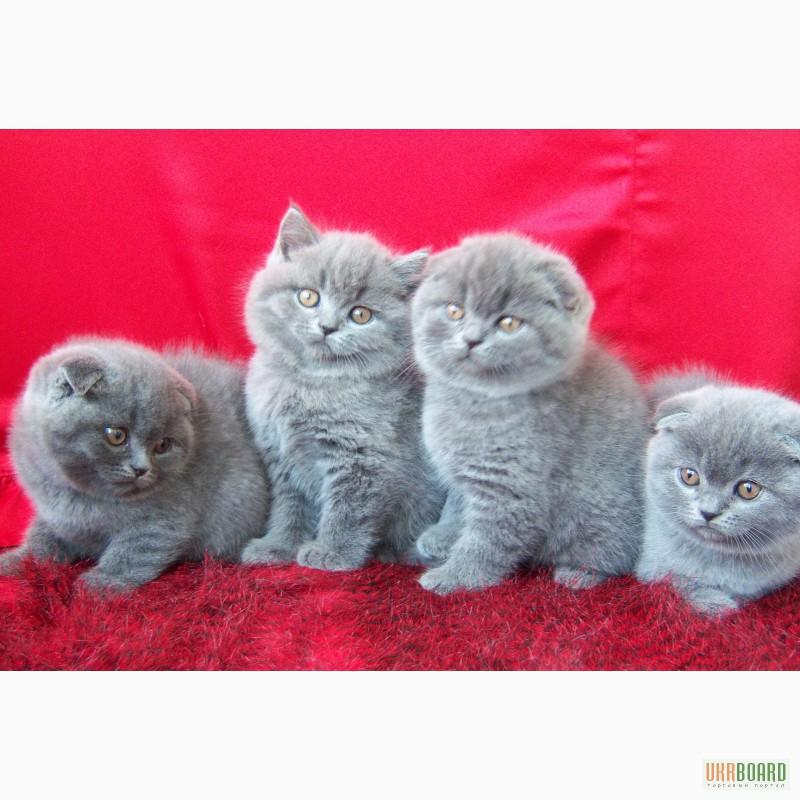 все о шотландских котятах в картинках товары требуют минимальных