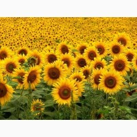 Высокоурожайные семена подсолнечника под Евро-Лайтинг Лимит, Ново-Алье, технология Клеарфилд