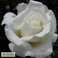 Продажа саженцев Роз, Частная Коллекция Роз
