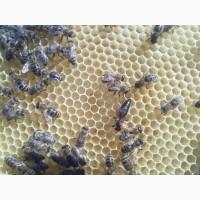 Матка Карпатка 2018 ПЛІДНІ БДЖОЛОМАТКИ ( Пчеломатки, бджолині матки ), Закарпатская обл