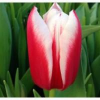 Продаются луковицы тюльпанов на выгонку на 8 марта