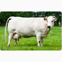 Закупка. корів на мясо по Черкаській області від населення