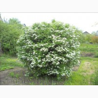 Продам саженцы Калины с открытой и закрытой корневой системой и много других растений