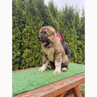 Кавказька собака овчарка - щеня для продажу