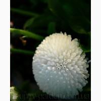 Продаем мега красивенные цветы Маргаритки Белые и много других растений (опт от 1000 грн)