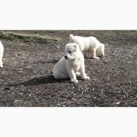 Щенки среднеазиатской овчарки возраст2 месяца. Происходят по чемпионской линии