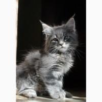 Котенок мейн кун (мальчик)