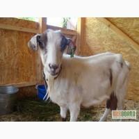 Продам элитную породистую козу