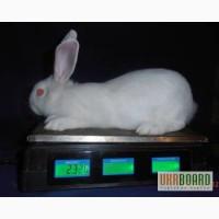 Продам кроликів Білий панон