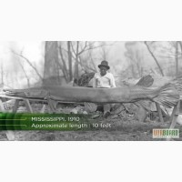 Миссисипский Панцирник-Аллигатор(Щука)