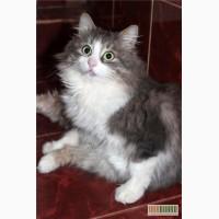 Шикарный молодой сибирский кот в надежные руки!