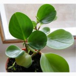 Продам Peperomia obtusifolia
