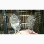Сплюшка ручні домашні пташенята совки, міні сова
