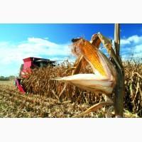 Гібриди кукурудзи, Гран 220, Гран 310, Гран5, Амарок, ВН 63, ВН 6763, Тесла