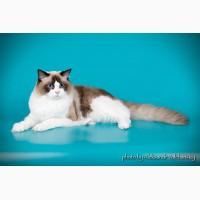 Котята породы Рэгдолл. Ласковые, голубоглазые пушистики