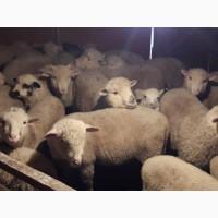 Продам вівці мереноса