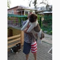 Американская Акита, щенки от выставочной /Документы КСУ, чип