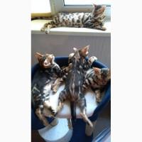 Продается бенгальский котенок, мальчик 2 месяца