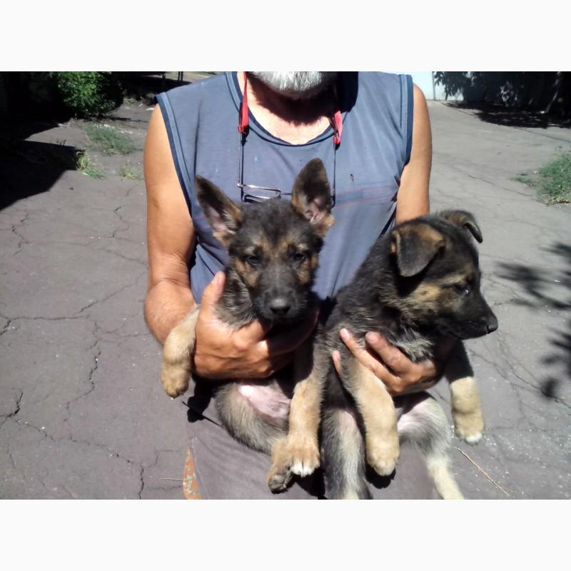 Фото 2. Продам щенков восточноевропейской овчарки