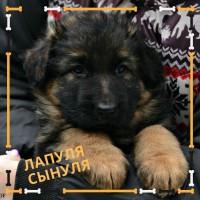 Красивый щенок породы Немецкая Овчарка